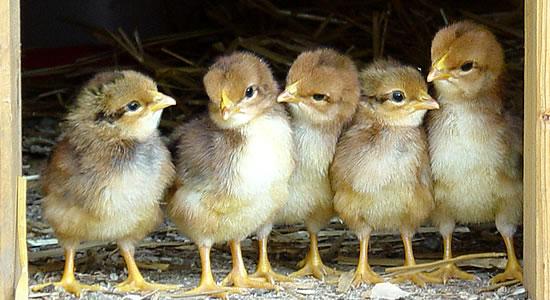 ¿En qué consiste la Contabilidad Avícola?